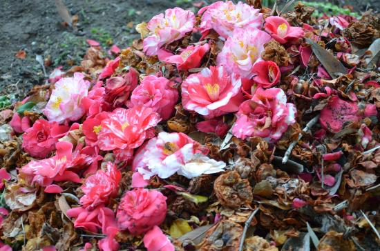 椿の落花で堆肥作り
