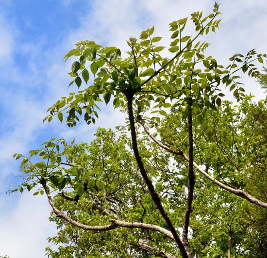 シチトウタラノキは棘がなく葉裏がやや白い 葉裏脈上に毛があるのはメダラ(七島花の会 神津島花図鑑)
