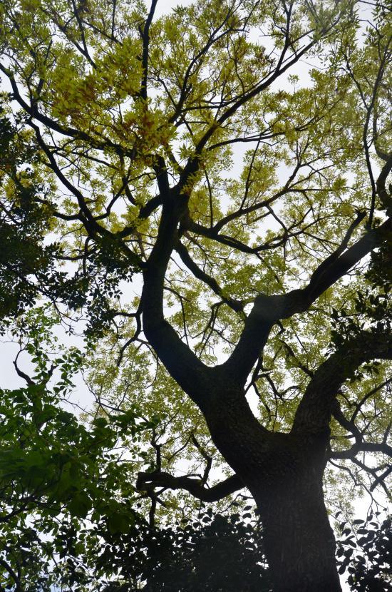 クヌギ 島では珍しい 榾木 炭用に植えられたもの