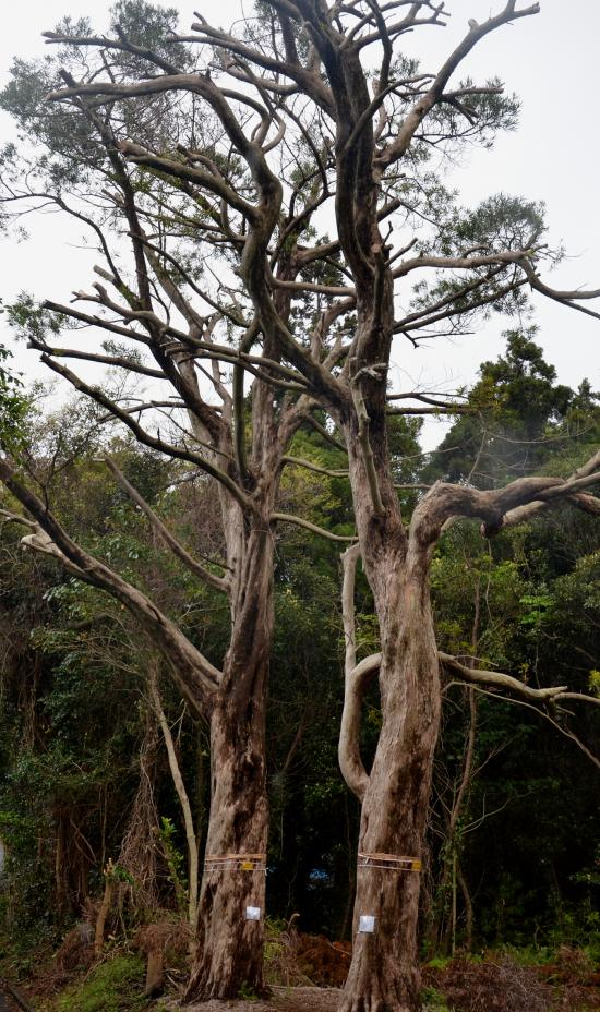 松本さんちのイヌマキ( 羅漢松)は中国で珍重される