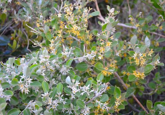 マルバアキグミ 黄花は珍しい