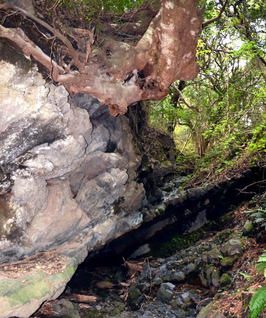 溶岩をかかえこむシイの大木が...