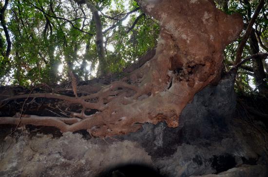 椎がさきか 溶岩流がさきか 桜株(サクラッカブ)より樹齢があるか ?