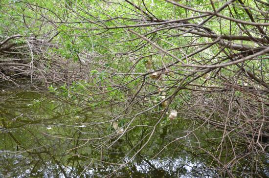 スリバチ火口跡の沼地 ヌマハリイ コガマが生い茂る島唯一のビオトープ