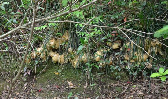 モリアオガエルは 土手→桑の木 シバヤナギの枝へ卵塊をつくる まだ産卵初期です