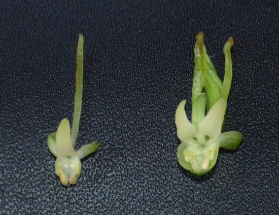 左はオオバノトンボソウ 右は ? → オオバノトンボソウの奇形花でした