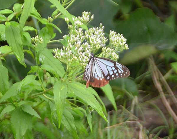 我が家のまだ咲いていないヒヨドリバナに飛来 08/03日 春北上し秋に南下するアサギマダラ