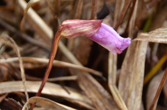 まだ咲いていましたナンバンギセル ススキの根に寄生する 光合成するための葉はありません