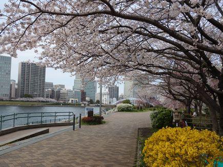 越中島の桜