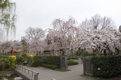 休憩所近くの桜