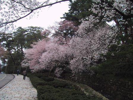 花開く佐藤桜
