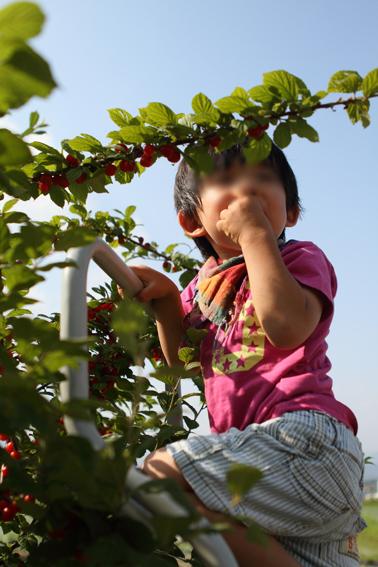 山桜桃梅1