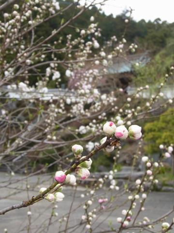 お寺バックに桃の蕾