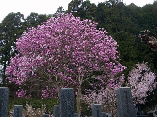 モクレンの大木