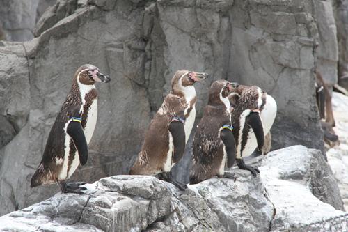 岩場のフンボルトペンギン
