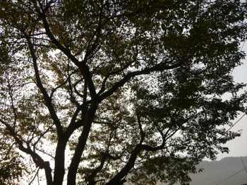 251101桜の木
