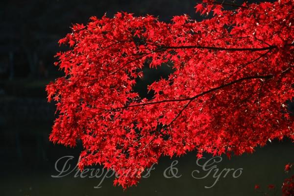 薬師池公園の紅葉 H