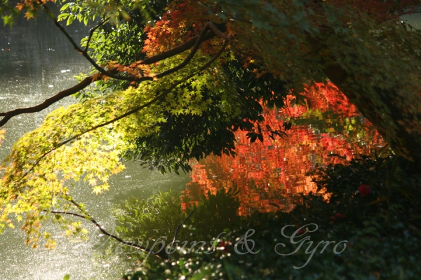 薬師池公園の紅葉 D