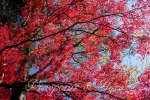 嵐山渓谷の紅葉 E