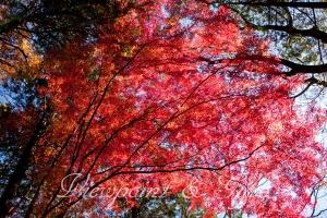 嵐山渓谷の紅葉 F