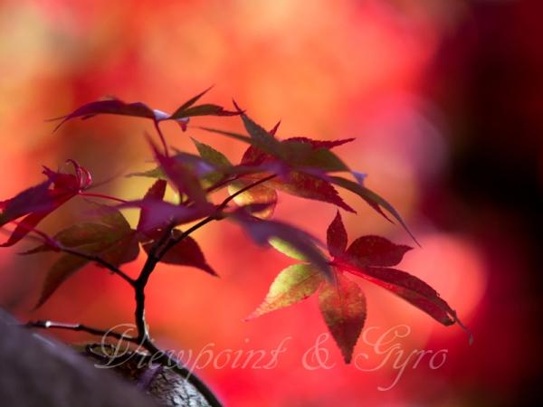 箱根美術館の紅葉 A