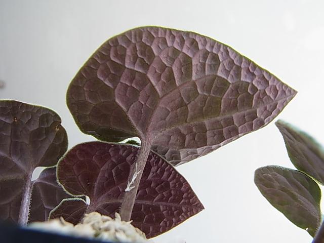 Asarum monodoriflorum3
