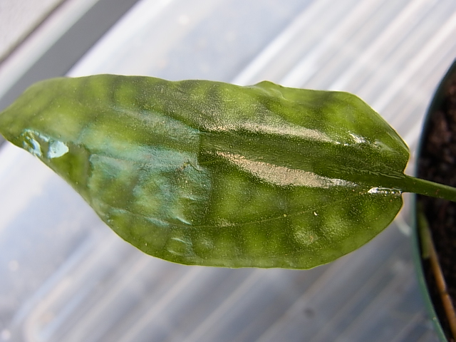 Cryptocoryne spCumega2
