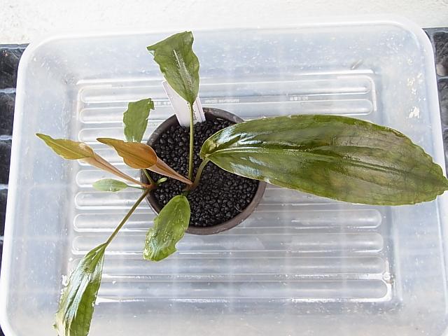 Lagenandra sp1