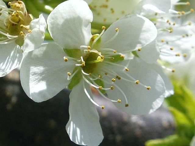 李(すもも)の花(34354 byte)