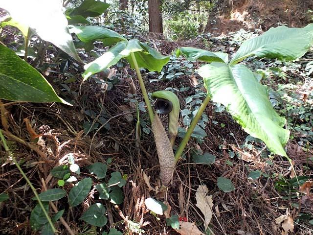 武蔵鐙(むさしあぶみ)、花部は大きな葉っぱに隠れた格好(98093 byte)