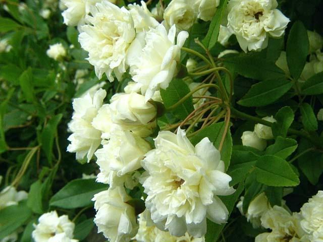 白木香薔薇(しろもっこうばら)(53210 byte)