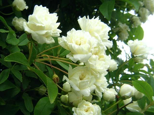 白木香薔薇(しろもっこうばら)(51870 byte)