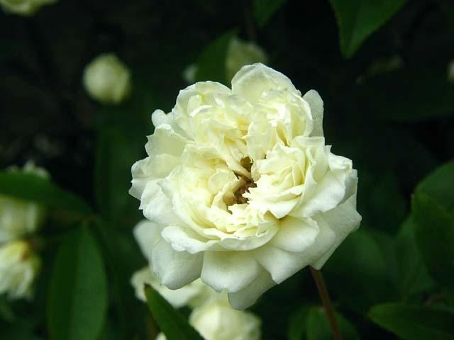 白木香薔薇(しろもっこうばら)(28483 byte)