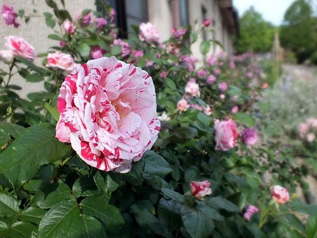 薔薇(ばら)(53096 byte)