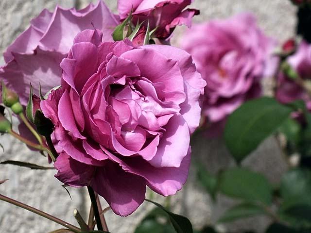 薔薇(ばら)(45649 byte)
