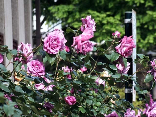 薔薇(ばら)(70962 byte)