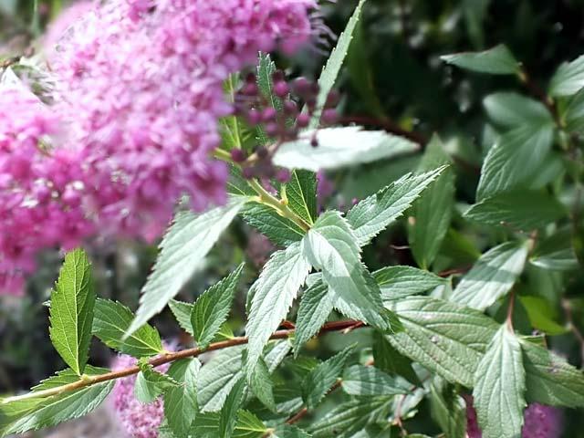 下野(しもつけ)の葉は、広卵形や披針形で互生、葉縁には重鋸歯の「単葉」です。(58156 byte)