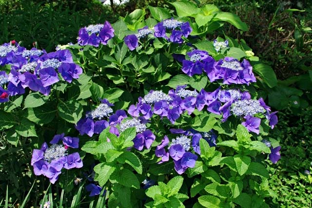 萼(がく)紫陽花(89110 byte)