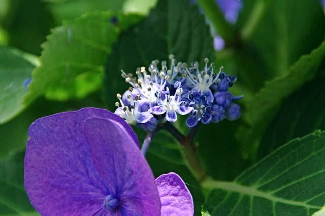萼(がく)紫陽花(35762 byte)