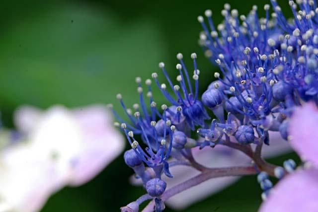 萼(がく)紫陽花(35857 byte)