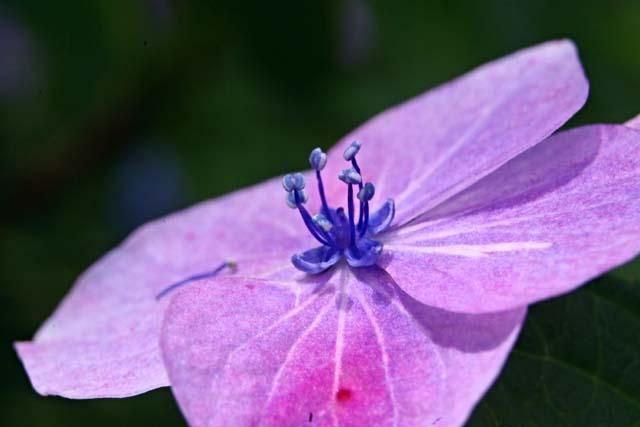 萼(がく)紫陽花(30159 byte)