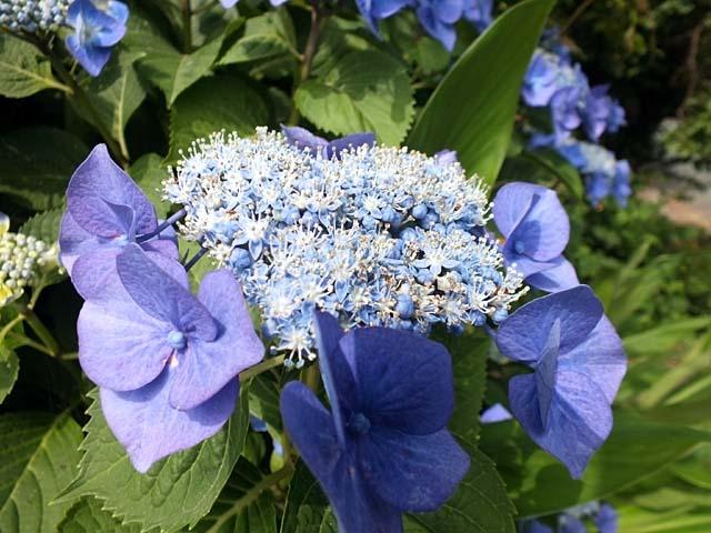 萼(がく)紫陽花(61108 byte)