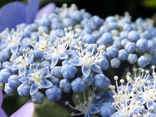 萼(がく)紫陽花(49654 byte)