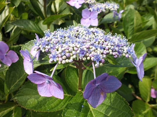 萼(がく)紫陽花(58650 byte)
