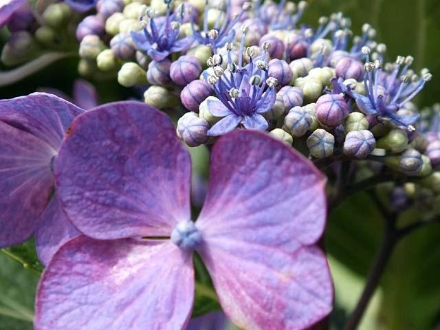 萼(がく)紫陽花(46477 byte)