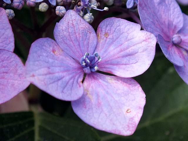 萼(がく)紫陽花(38244 byte)