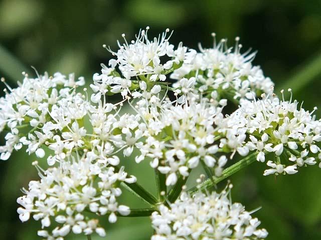 芹(せり)の花(60389 byte)