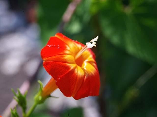 丸葉縷紅草(まるばるこうそう)(23137 byte)