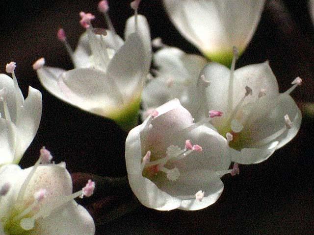 白花桜蓼(しろばなさくらたで)(50145 byte)