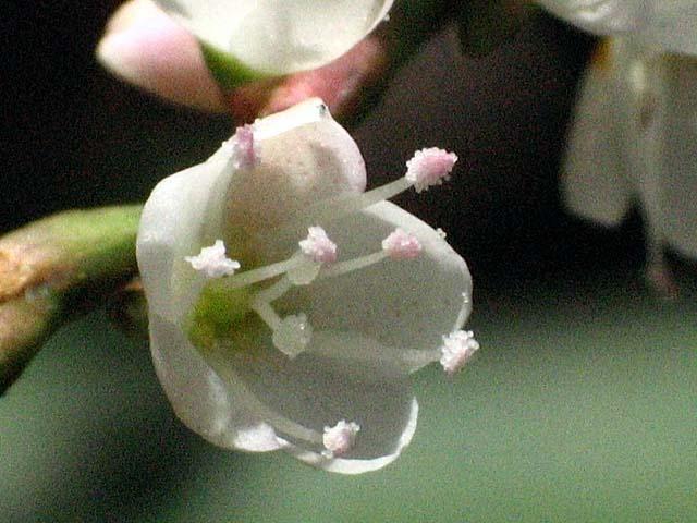 白花桜蓼(しろばなさくらたで)(50694 byte)